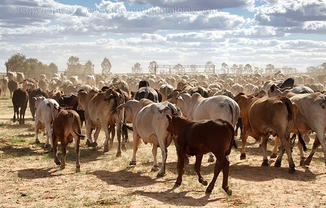 Anna Creek cattle